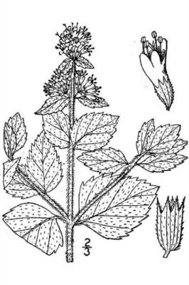 Sketch-of-Water-Mint-plant