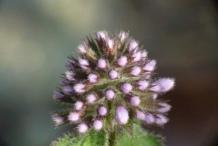 Flowering-buds-of-Water-Mint
