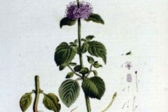 Plant-Illustration-of-Water-Mint