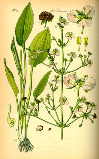 Plant-Illustrations-of-Water-Plantain