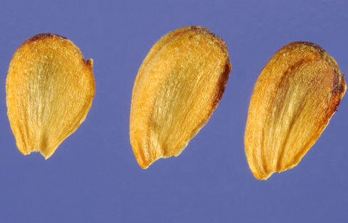 Seeds-of-Water-Plantain-Plant