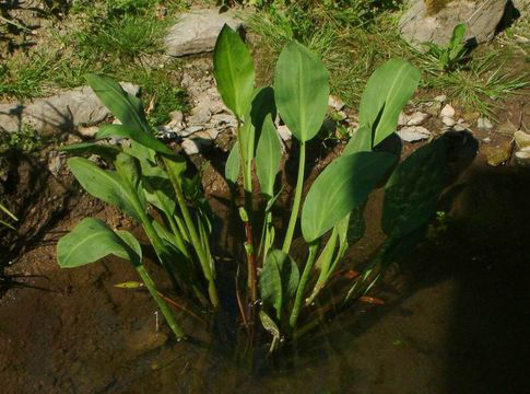 Water-plantain-Plant-growing-in-water