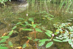 Water-Smartweed-plants