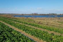 Water-spinach-farm