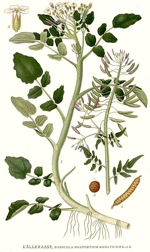 Plant-illustration-of-Watercress