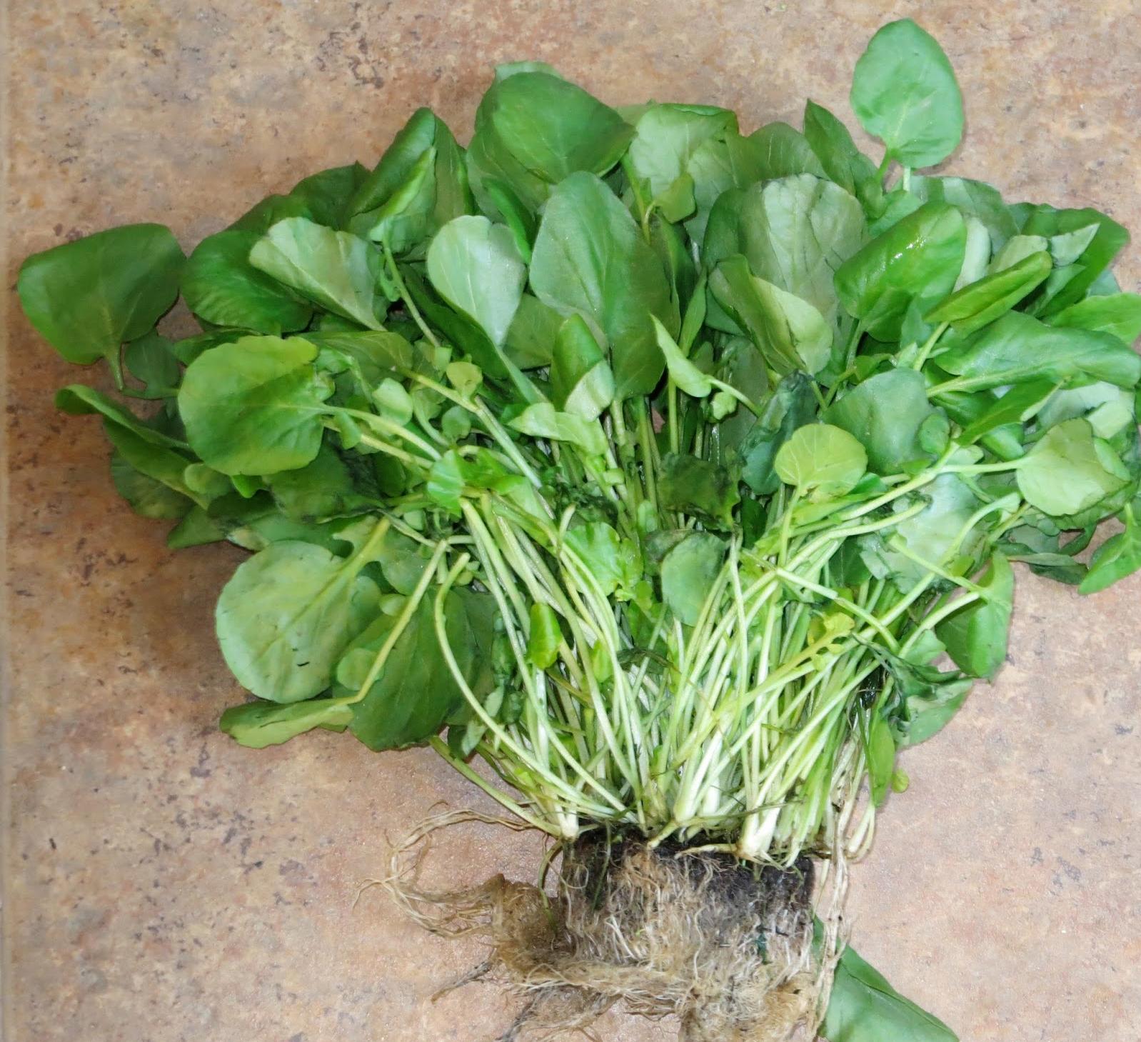 Plant-of-Watercress