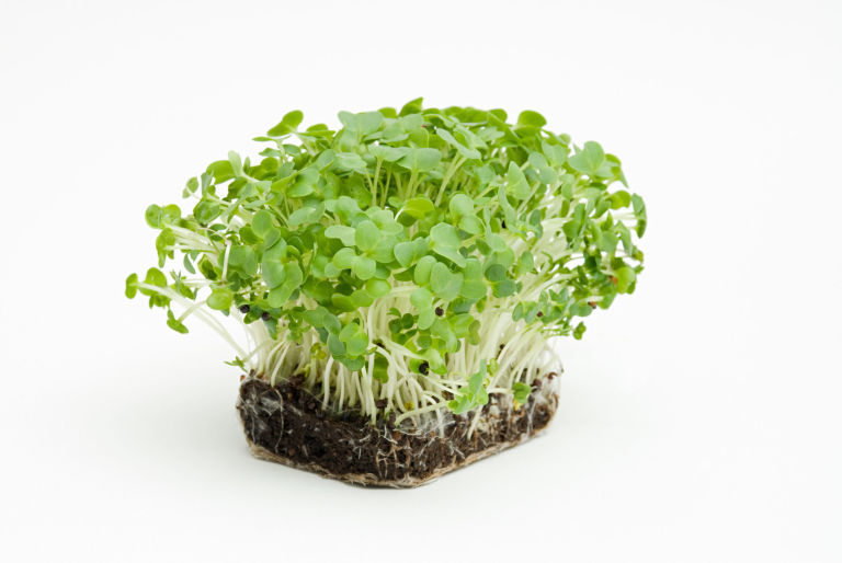 Seedlings-of-Watercress