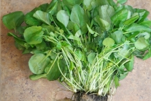 Plant-of-Watercress