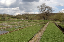 Watercress-farm