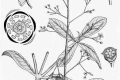 Plant-Illustration-of-Waterleaf