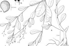 Sketch-of-Waterleaf