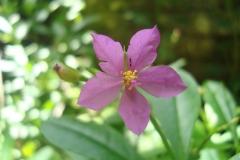 Waterleaf-Flower