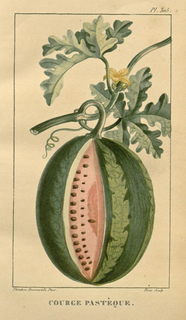 Watermelon-plant-illustration