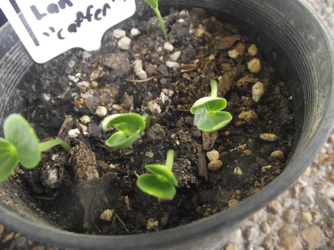 Watermelon-seedlings