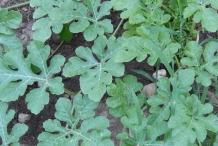 Watermelon-leaves