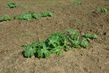 Watermelon-plant