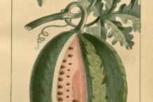 Watermelon Facts, Health Benefits and Nutritional Value