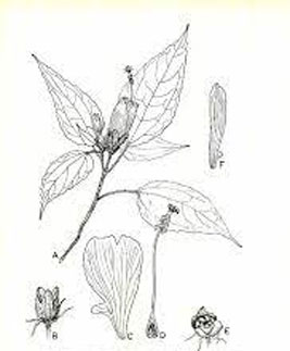 Sketch-of-Wax-mallow