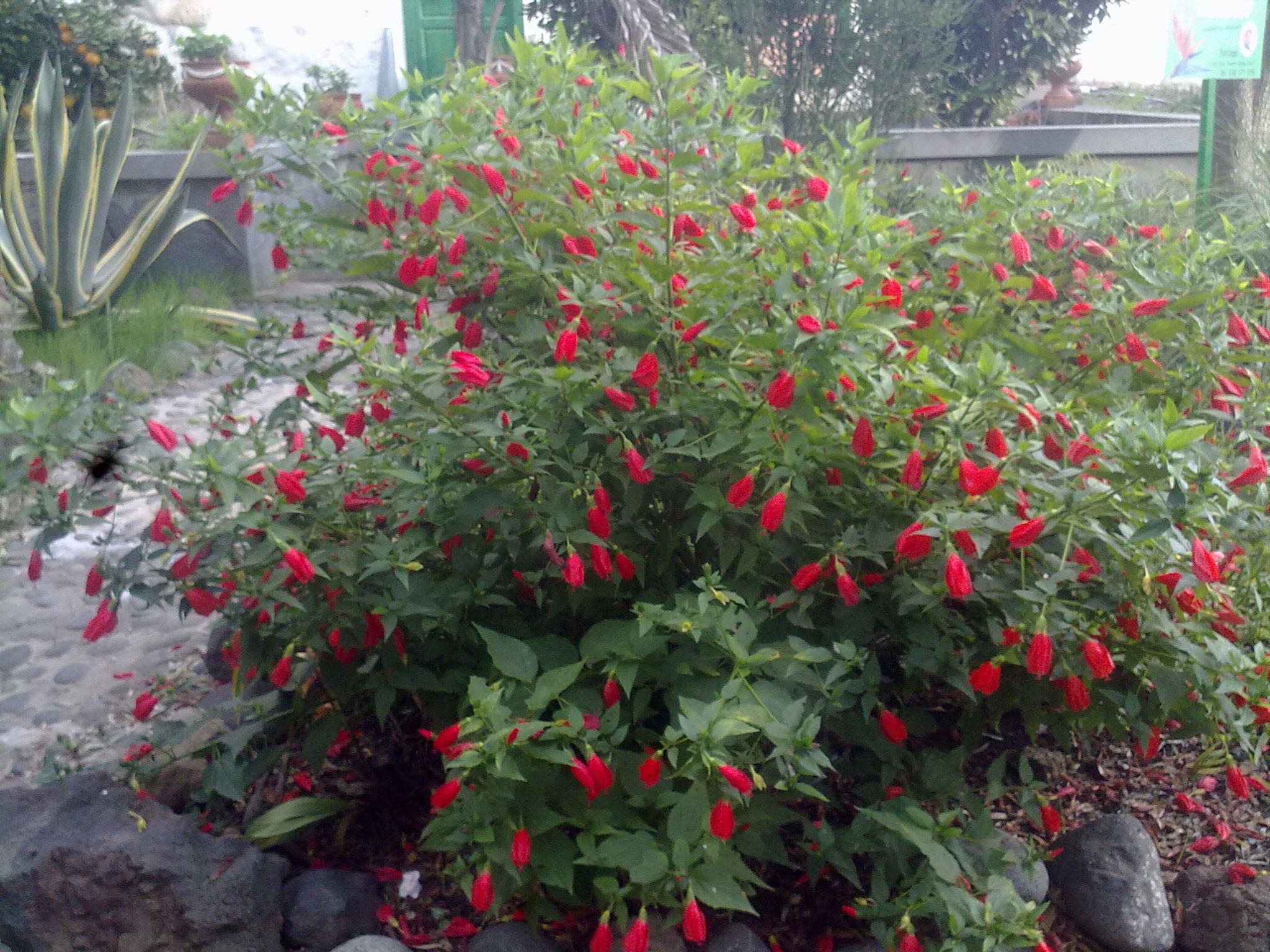 Wax-Mallow-Plant