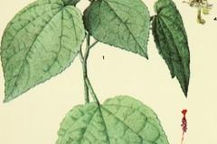 Plant-Illustration-of-Wax-mallow