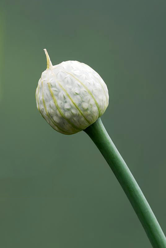 Flowering-buds-of-Welsh-onion