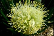 Flower-of-Welsh-onion