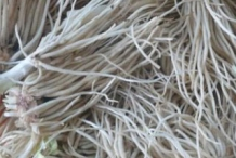 Root-system-of-Welsh-onion