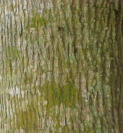 Bark-of-West-Indian-elm-plant