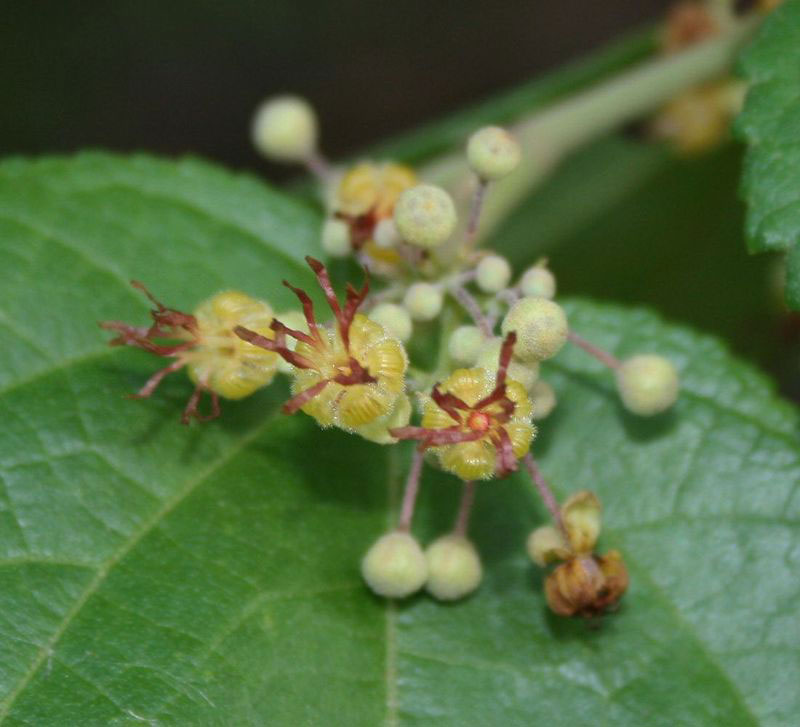 Flower-of-West-Indian-elm-plant