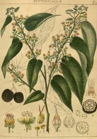 Plant-illustration-of-West-Indian-elm
