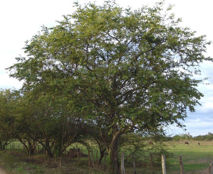 West-Indian-elm-Plant
