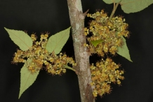 Bunch-of-flowers-of-West-Indian-elm-plant