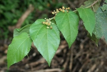 Leaves-of-West-Indian-elm-plant