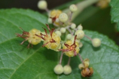 Flower-of-West-Indian-elm-plant