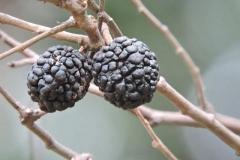 Fruit-of-West-Indian-elm-plant