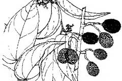 Sketch-of-West-Indian-elm