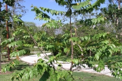 Small-West-Indian-elm-Plant