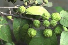 Unripe-fruits-of-West-Indian-elm-plant