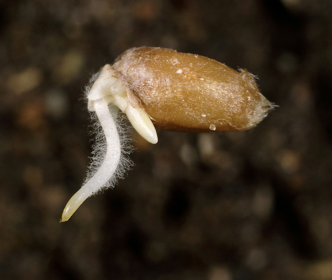 Germinating-wheat-seed