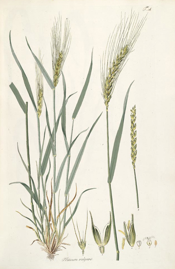Plant-illustration-of-Wheat