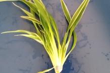 Wheat-plant