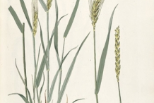Plant-illustration-of-Wheat