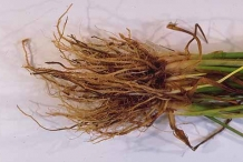 Roots-of-wheat