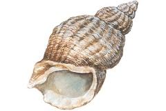 Sketch-of-Whelk