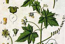Plant-Illustration-of-White-Bryony