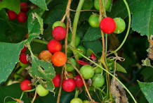 Fruits-of-White-Bryony