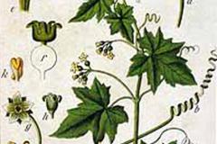 Plant-Illustration-of-White-Bryony