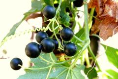 Ripe-fruit-of-White-Bryony