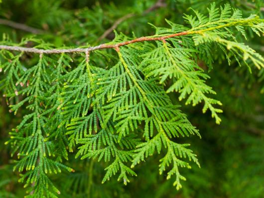 Leaves-of--White-Cedar
