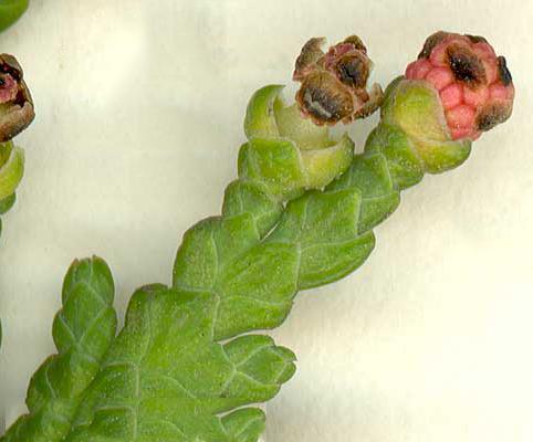 Male-Cone-of--White-Cedar